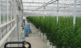 写真1 栽培室①大玉トマト