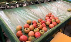 写真1 大玉トマト収穫果実
