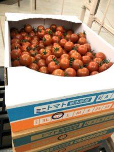 写真2 ミニトマト収穫果実