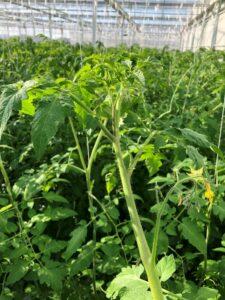 写真2 ミニトマトの成長点付近