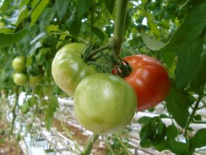 写真7 大玉トマト