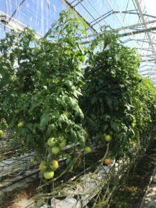 写真1 大玉トマトの樹姿