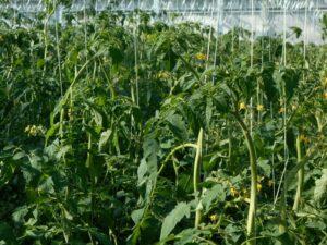 写真3 大玉トマトの生長点付近の様子