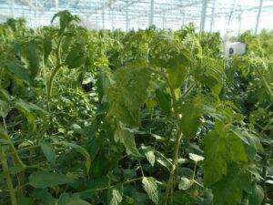 写真4 ミニトマトの生長点付近の様子